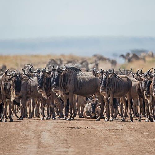 Quénia-Tanzânia: Masai Mara, Serengeti, N'Gorongoro e Lago Vitória