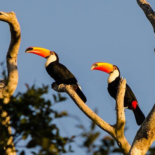 Jaguares e Tucanos do Pantanal