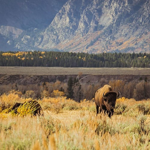 Lobos e Ursos nos Parques Grand Teton e Yellowstone
